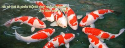 Cá Koi Nhật