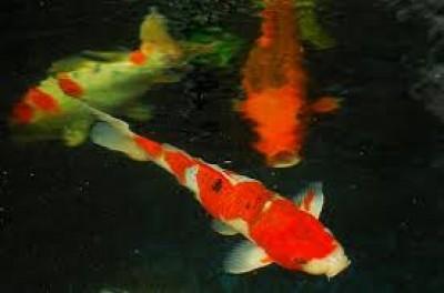 Cẩn trọng khi cá bị tuột nhớt
