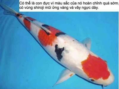 Cách nhận biết giới tính cá Koi khi còn nhỏ