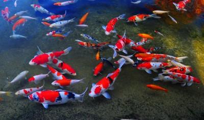 Đôi điều về lịch sử và nguồn gốc cá Koi