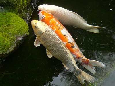 Hướng dẫn xử lý cá koi trước khi thả vào hồ