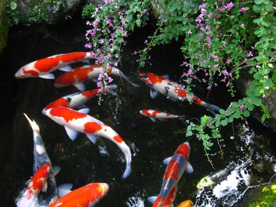 Triết lý sống từ cá chép koi ! (Tập 2)