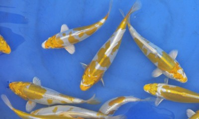 Đặc điểm và cách chọn cá koi Hariwake